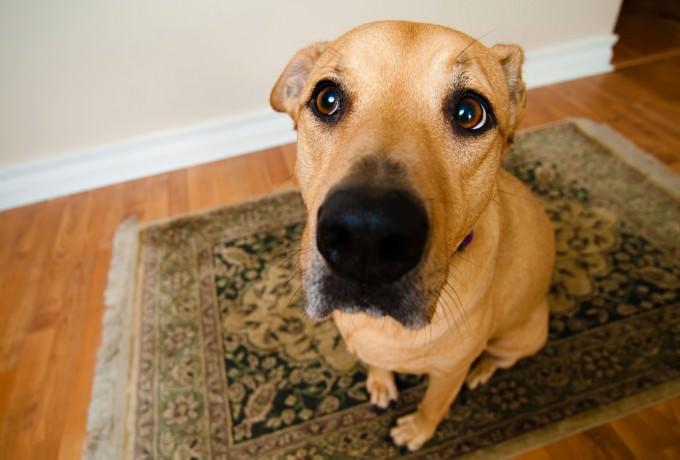 Area Rug Pet Contamination