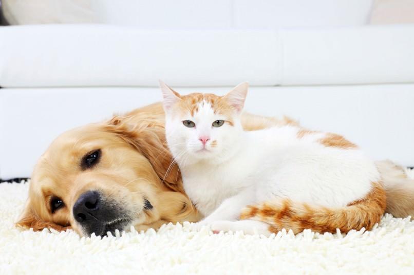 Carpet Pet Contamination